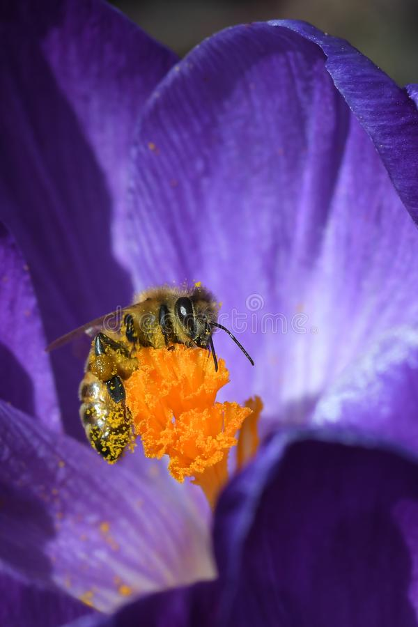 Busy bee collecting pollen in a crocus stock photography