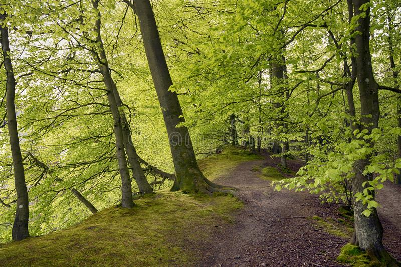 Springtime beech forest with light green leaves royalty free stock images