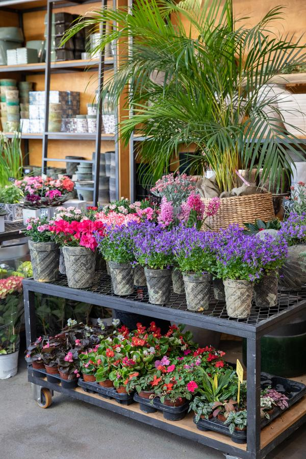 Springtime blooming potted Campanula muralis or violet bellflowers and other plants on the shelfs of greek flowers bar. stock image