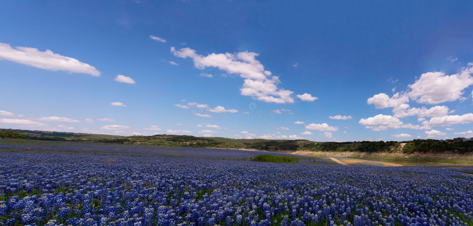Springtime Bluebonnets in Muleshoe, Texas royalty free stock images
