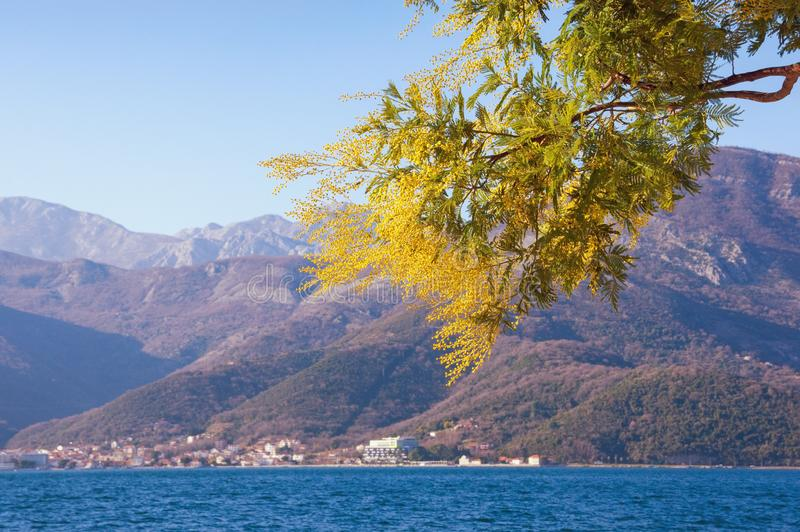 Springtime . Branch of yellow flowers of Acacia dealbata mimosa against beautiful Mediterranean landcsape on sunny spring day stock photo