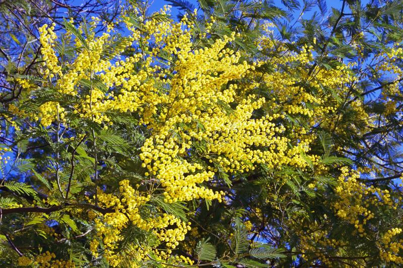 Springtime . Branches of Acacia dealbata mimosa tree with bright yellow flowers on sunny spring day royalty free stock photo