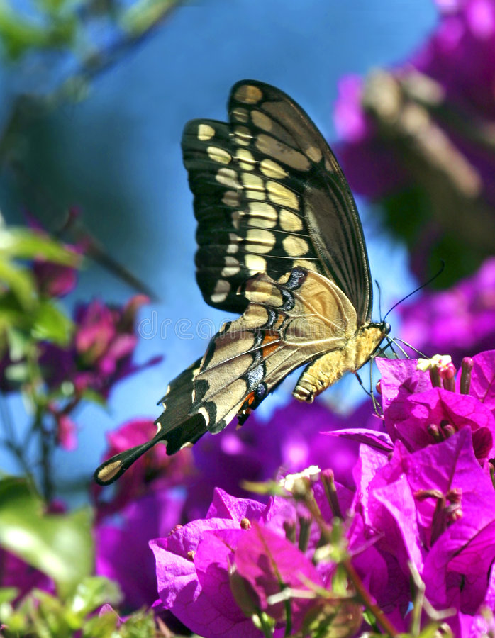 Springtime Butterfly. Eastern Tiger Swallowtail Butterfly enjoys the purple flowers of a bouganvillea royalty free stock images