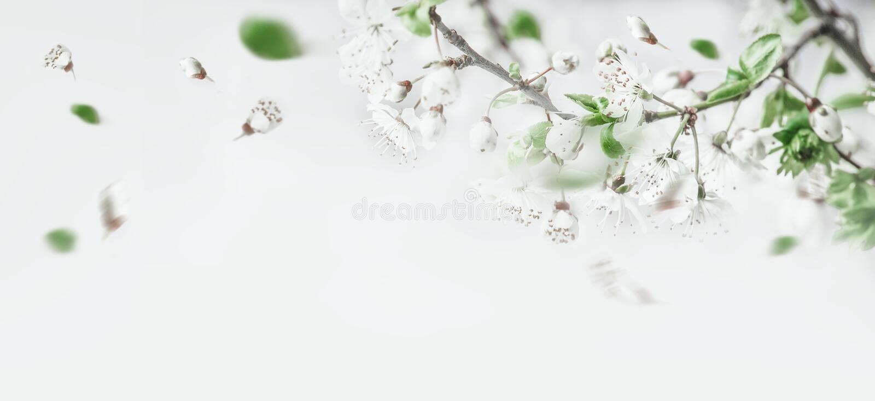 Springtime cherry-bloesem op witte achtergrond, bovenaanzicht Grens Lente stemming royalty-vrije stock afbeelding