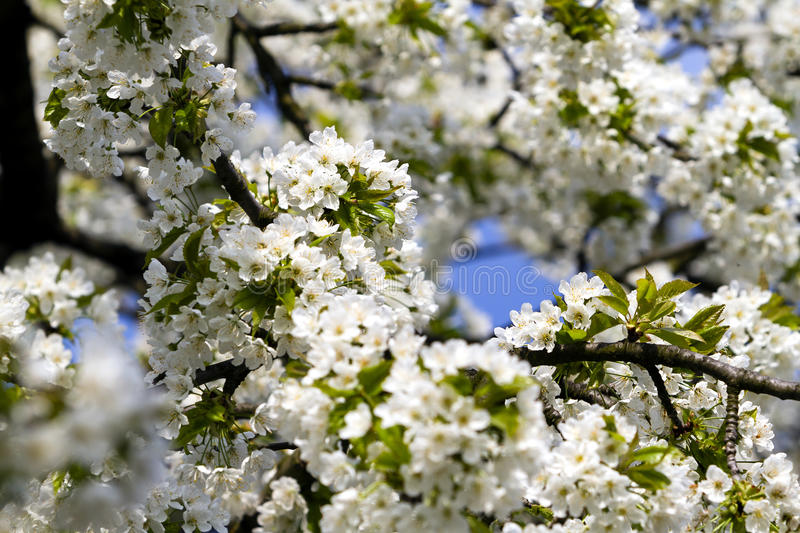 Download Springtime Cherry Blossom stock image. Image of floral - 41071395