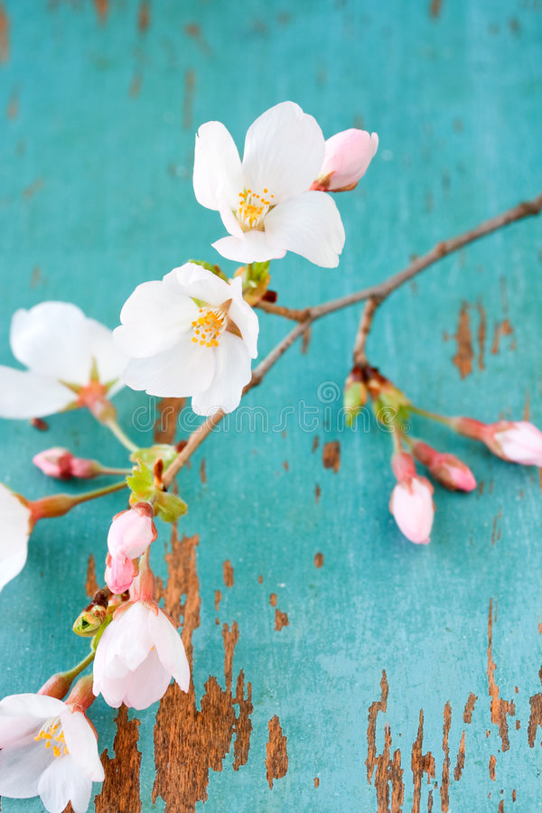 Download Springtime cherry blossoms stock image. Image of fresh - 8063523
