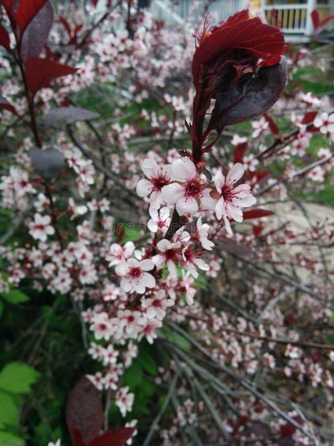 Springtime Cherry Blossoms stock image