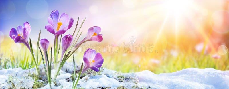 Springtime - Crocus Flower Growth In The Snow stock photos
