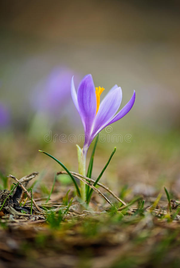 Download Springtime crocus stock image. Image of foreground, blossom - 54292263
