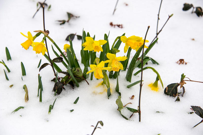 Springtime Daffodils in the Snow. Springtime snow covers early blooming miniature daffodils royalty free stock image