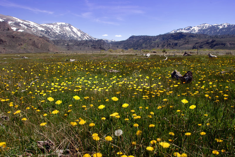 Download Springtime Dandelions In The Mountains Stock Photo - Image: 5300980