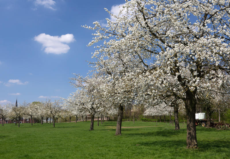 Springtime in Flanders. View on a pear tree orchard in the famous fruit region in Flanders, Belgium near St. Truiden stock photos