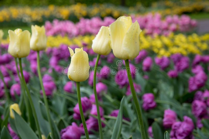 Springtime in the flields. A bulb field is a field on which bulbs are grown commercially initially only tulips. After the bulbs have blossomed, they are headed stock images