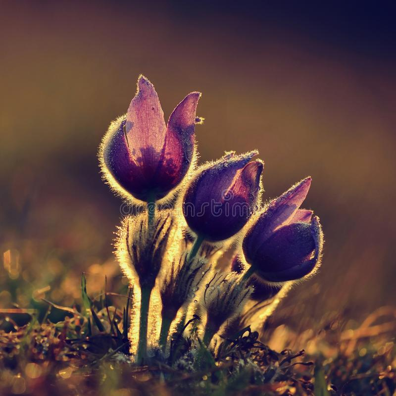 Springtime flower. Beautiful purple little furry pasque-flower. Pulsatilla grandis Blooming on spring meadow at the sunset. Springtime flower. Beautiful purple stock image