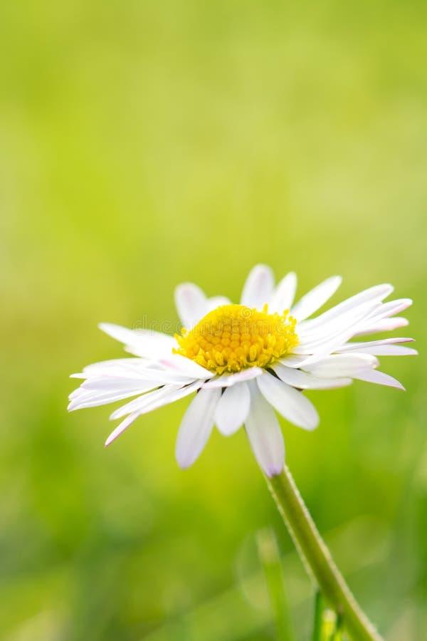 Springtime flower - daisy stock image