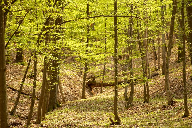 Springtime forest. Landscape view of the interior of a springtime forest stock images