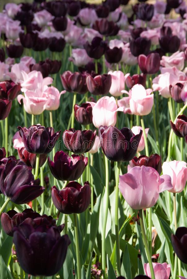 Closeup of Pink and Purple Tulip Flowers in Bloom. Springtime garden filled with pink and purple tulip flowers. Tulips are spring blooming perennial bulbs with stock photos