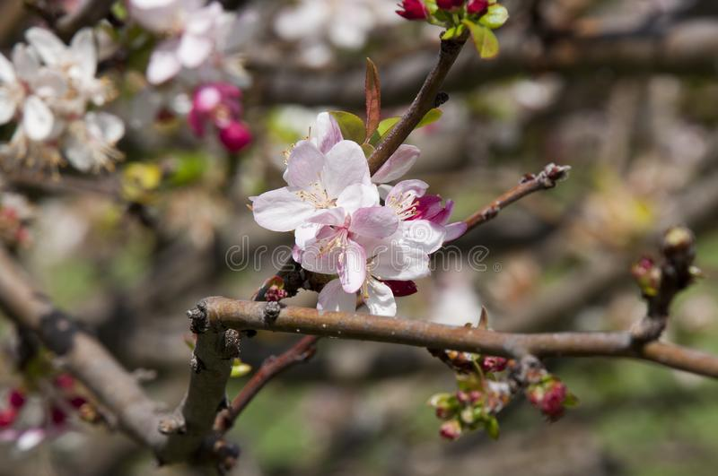 Fruit tree with first spring blossoms royalty free stock photography