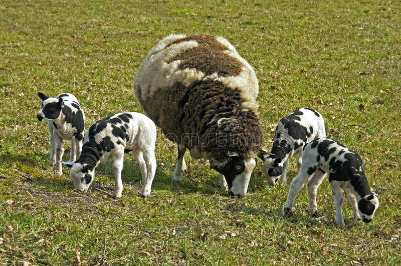 In springtime grazing Dutch lambs and mother sheep stock photo