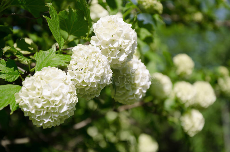 Springtime Guelder rose, Viburnum opulus white flowers in a snowball shape. royalty free stock image