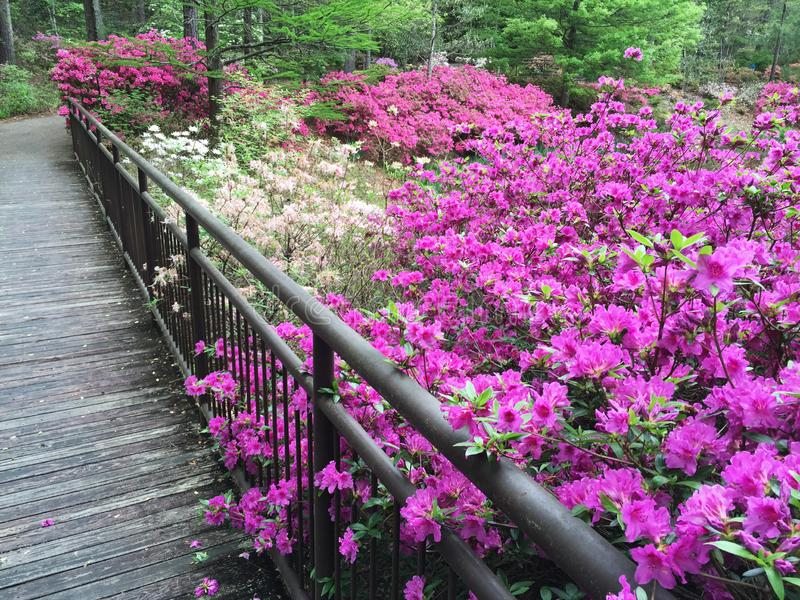 Public Southern USA Garden Filled with Azalea Flowers in Bloom. Springtime multi colored azalea flowers in bloom along a footbridge in a southern USA garden stock image