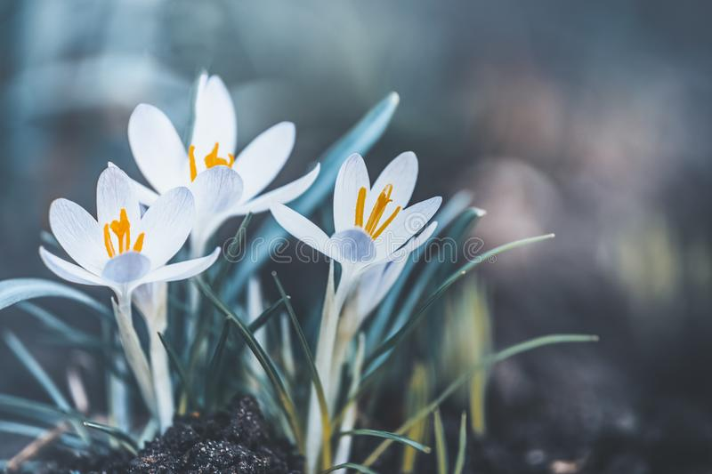 Springtime outdoor nature with lovely pale crocuses flowers. First spring flowers stock image