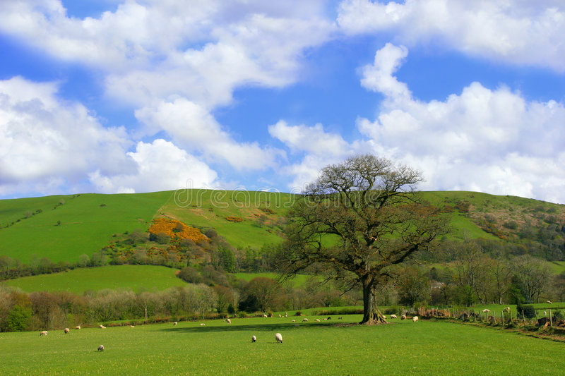 Springtime Pasture. Field in spring set amongst the hills with sheep grazing and a large oak tree, with a blue sky and white clouds stock images