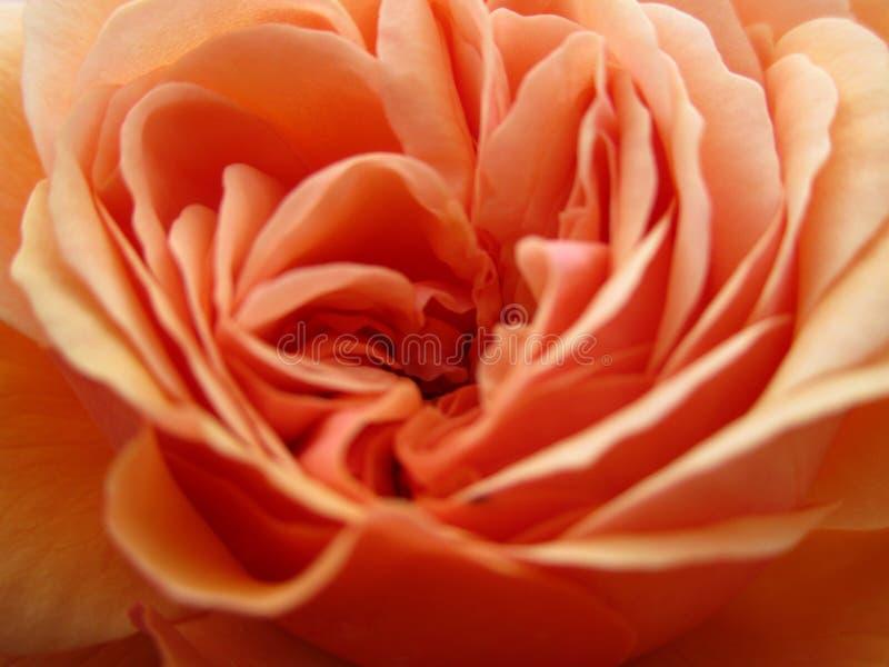 Springtime peach rose flower close up in bloom at Queen Elizabeth Park. British Columbia, Canada stock images