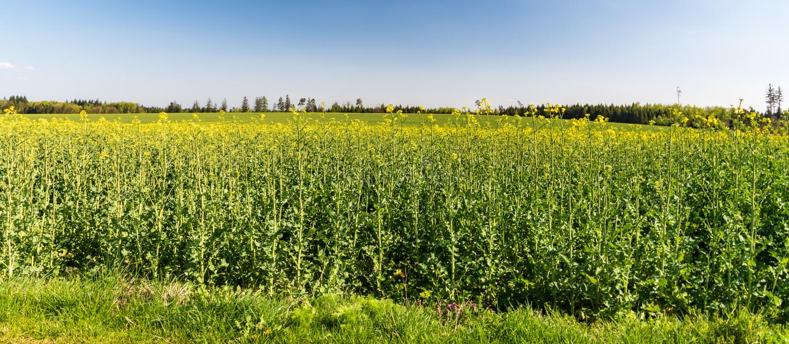 Springtime rural scenery with oilseed rape and clear sky. Near Jakubcovice village not far from Opava town in Czech republic stock photo