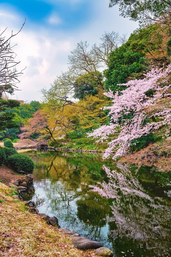 Springtime sakura blooming at Shinjuku Gyoen Park in Tokyo. Springtime sakura blooming at Shinjuku Gyoen Park, Tokyo, Japan stock photos