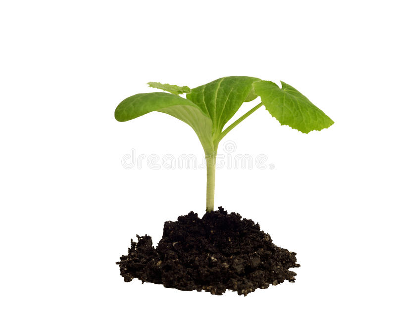 Squash seedling in dirt on white royalty free stock image