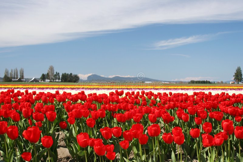 Springtime in Skagit Valley. Tulips in full bloom in Washington State royalty free stock photography