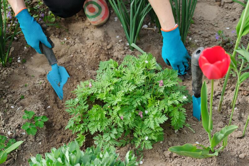 Woman hands with garden tools working with soil and cultivating dicentra spectabilis Bleeding Heart flower stock photography