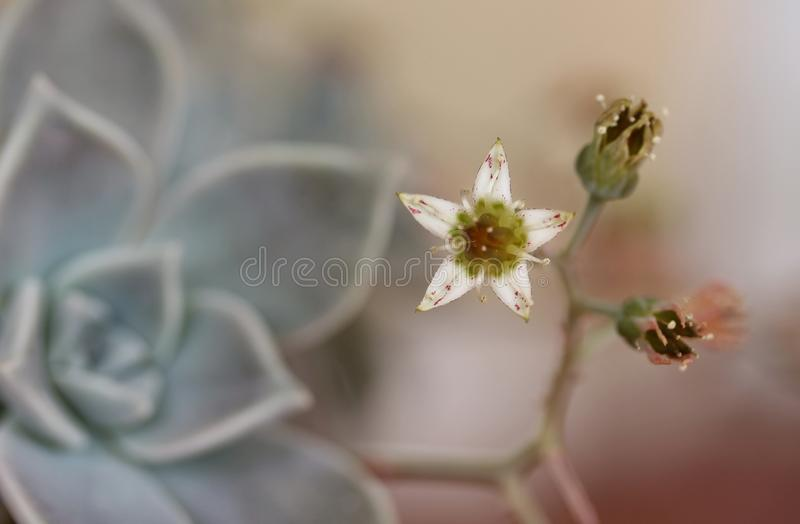 La doucher de printemps - Springtime tenderness - Graptopetalum. A very tiny Graptopetalum flower, blooming at the first days of Spring... This spectacular royalty free stock images