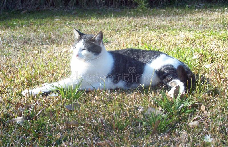 Springtime sunshine: Cat Leisurely Sits in the Grass. Cat lounges in the grass as he enjoys the springtime sunshine royalty free stock image