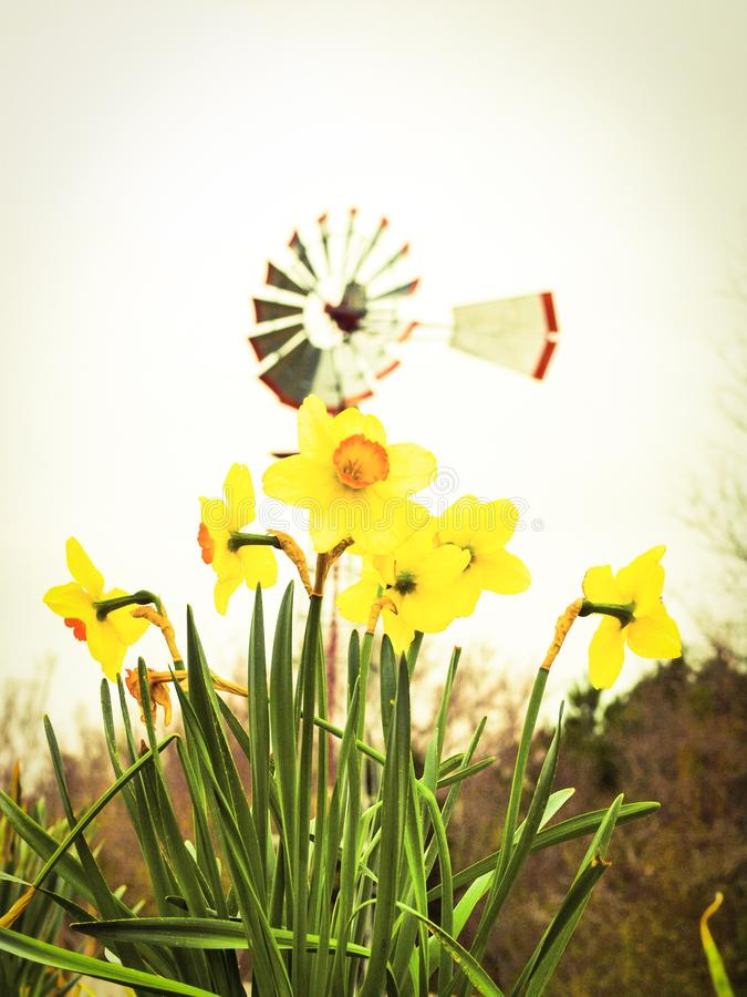 Springtime in Texas. East Texas Arboretum - Yellow Flowers with Windmill royalty free stock photo