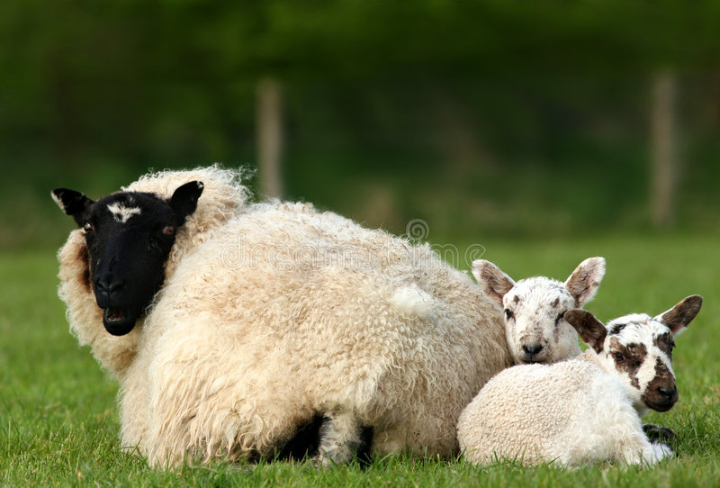 Download Springtime Trio stock image. Image of lamb, lovable, food - 458119