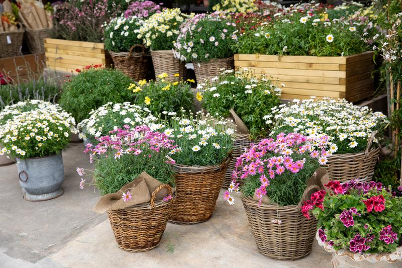 Springtime variety of potted daisies in the flowers bar. royalty free stock photography