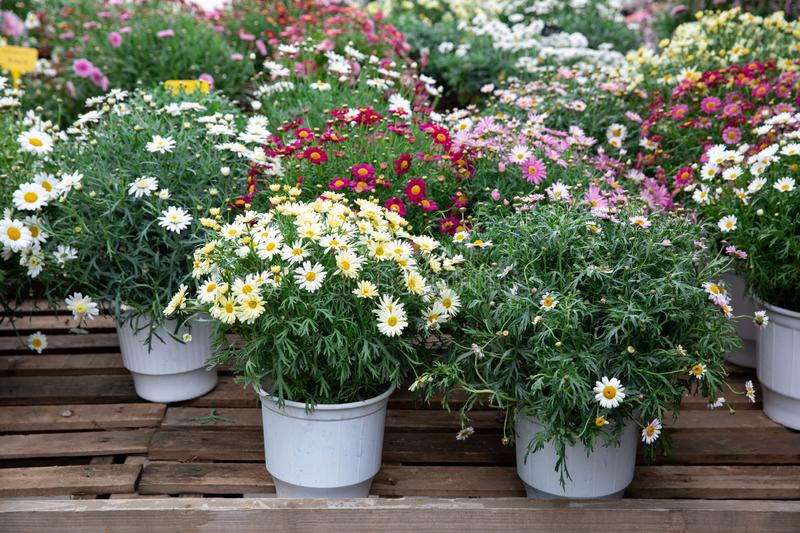 Springtime variety of potted daisies in the flowers bar. royalty free stock photos