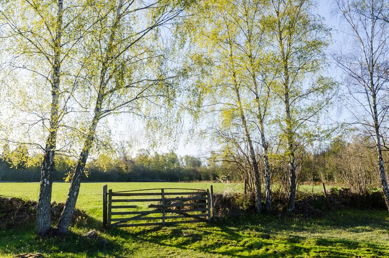 Springtime view with fresh new leaves on the birches in a green landscape royalty free stock image
