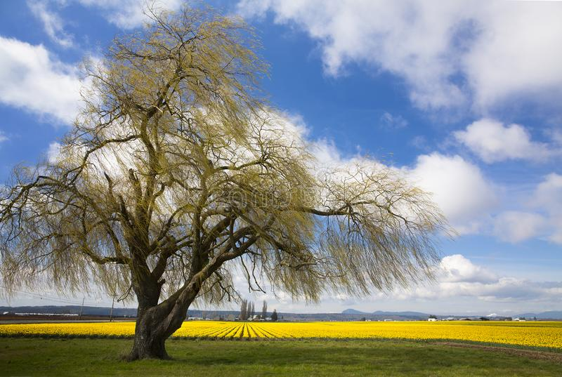 A weeping willow tree lines daffodil fields in Skagit Valley near Mt. Vernon, WA royalty free stock photos
