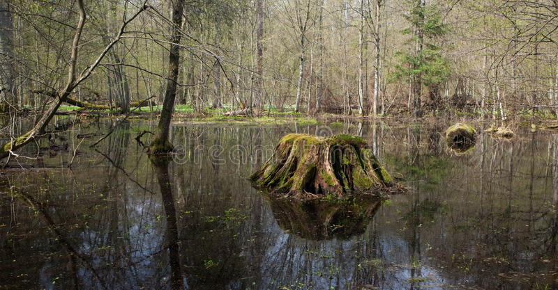 Springtime Wet Forest Stock Photography
