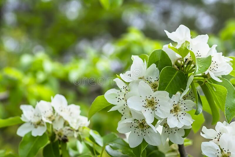 Springtime. White pear blossoms. Spring flowers on nature blurred background.  royalty free stock image