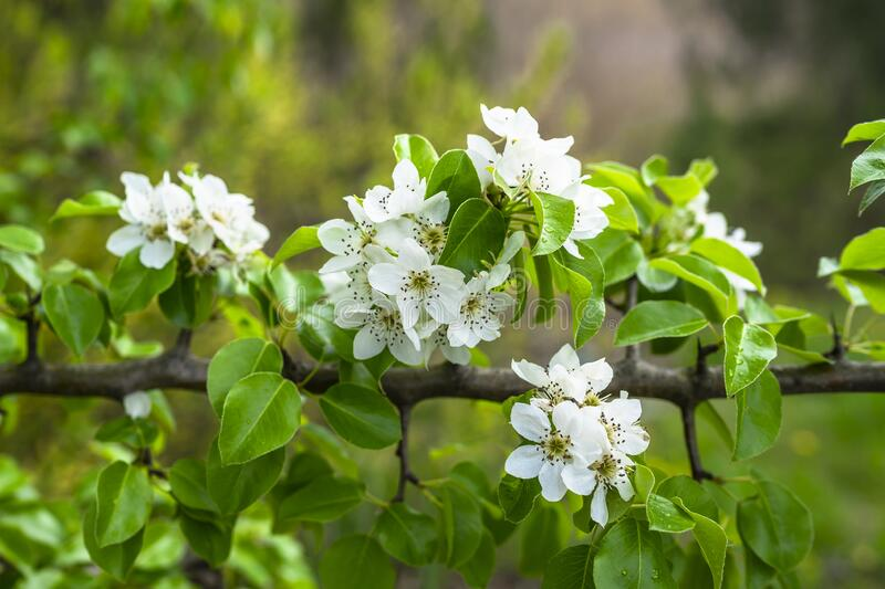 Springtime. White pear blossoms. Spring flowers on nature blurred background.  royalty free stock photos