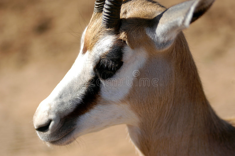 Sprinkbok 01 Stockbild