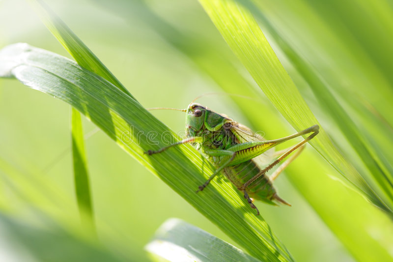 Sprinkhaan in een gras royalty-vrije stock afbeelding