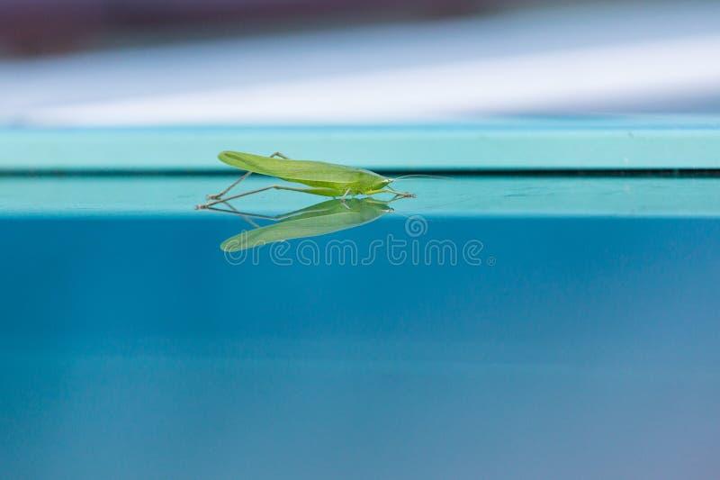 Sprinkhaan op Blauw Glas royalty-vrije stock afbeelding