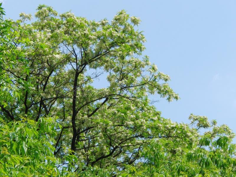 Sprinkhanenboom stock foto's