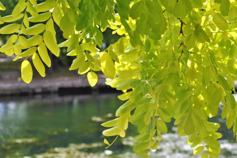 Sprinkhanenboom stock foto