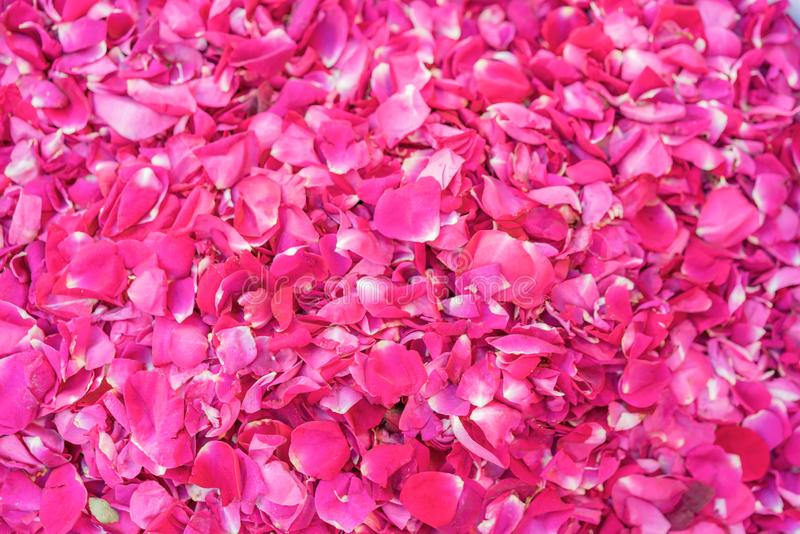 Sprinkled fresh pink rose petals royalty free stock images
